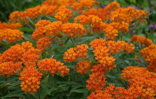 Knollige Seidenpflanze Asclepias tuberosa